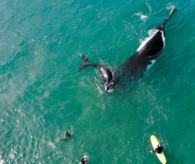 Close encounter: mother and calf humpback whales stun surfers at Sydney's Manly beach